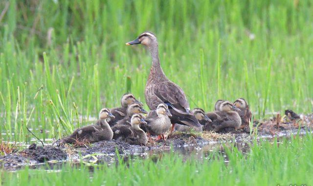 小雨の日の涸沼~オオタカ、カルガモ