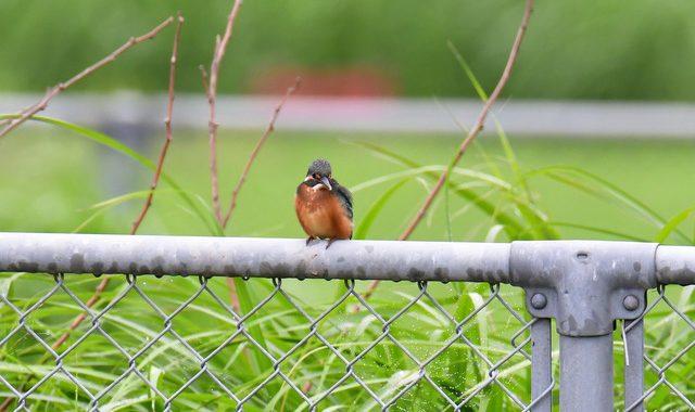 カワセミの若鳥2羽