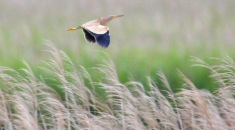 涸沼、ヨシゴイが飛ぶ