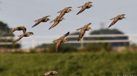ムナグロ20羽の飛翔