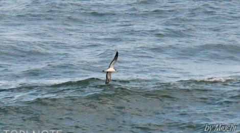夏の海のオオミズナギドリ