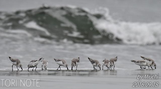 海のシギチたち~ミユビシギ、トウネン