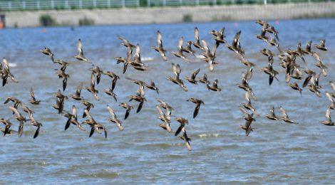 涸沼にコガモの群れが飛来