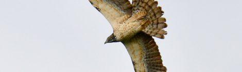 白樺峠(3)ハチクマ成鳥メス
