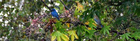 乗鞍の小鳥(3)オオルリ、ゴジュウカラ、ノビタキ
