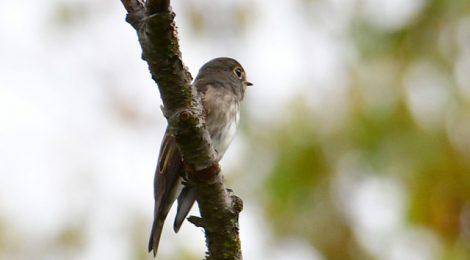 乗鞍の小鳥(2)初見のサメビタキ