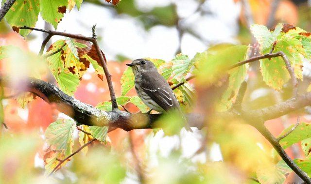 乗鞍の小鳥(1)エゾビタキ、コサメビタキ