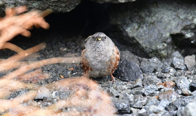 乗鞍の小鳥(4)初見のイワヒバリ