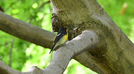 秋の小鳥の渡り~キビタキたち