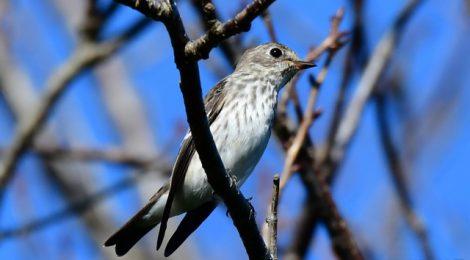 秋の小鳥たち~エゾビタキ・ノビタキ・エナガ