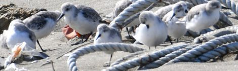 波崎の砂浜でミユビシギ・メダイチドリ・シロチドリ