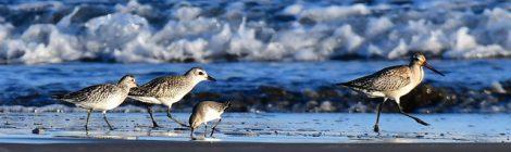 秋の海辺のダイゼン、オバシギ、オオソリハシシギ