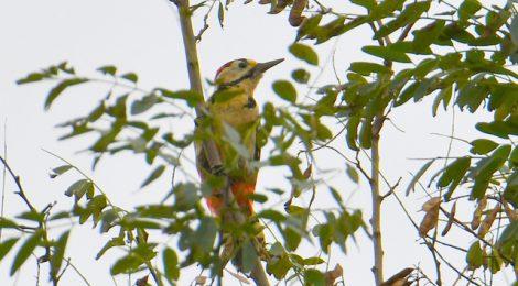 アカゲラの幼鳥を観察