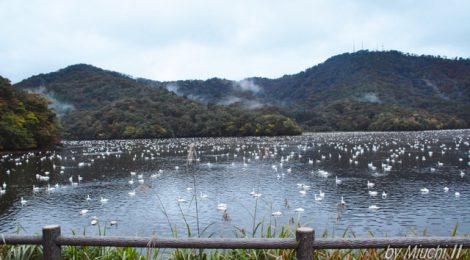 大山上池・下池のコハクチョウ