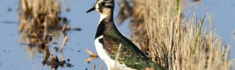 涸沼の冬鳥~タゲリ、コチョウゲンボウ、アトリ