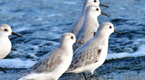初冬の海にて~ミユビシギ、ハマシギ、趾の黒いコサギ?