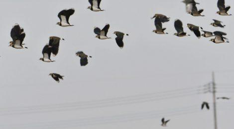 タゲリの群れ80羽+
