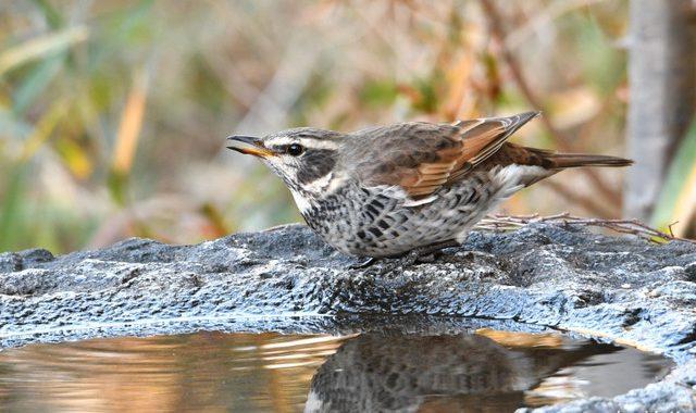 水場で小鳥ウォッチング