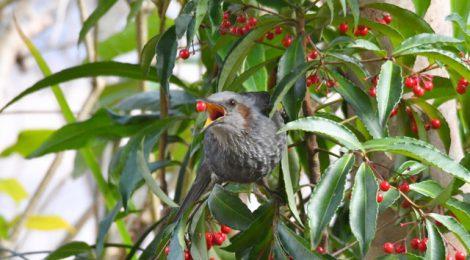 もの食う鳥たち~アカハラ、モズ