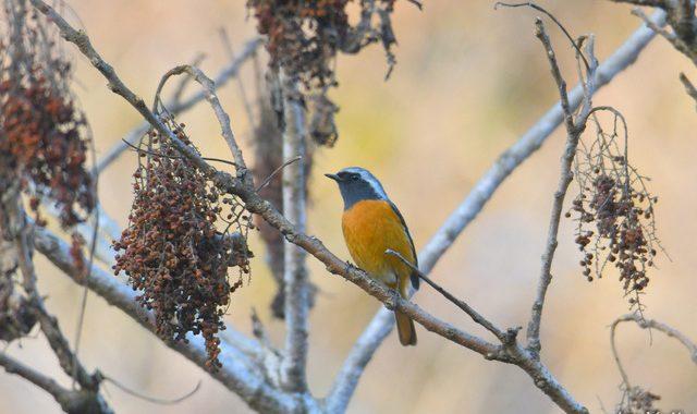ヌルデ食堂の鳥たち