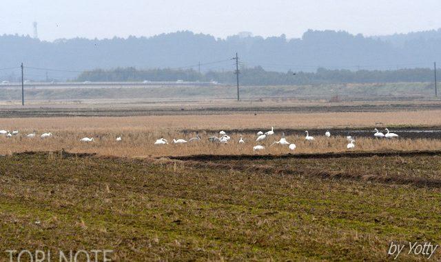 涸沼のハクチョウたち、猛禽類