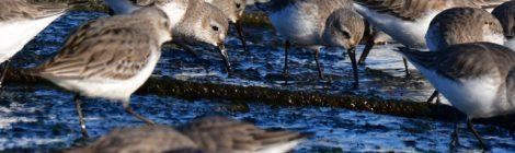 冬の海のハマシギたち