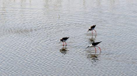 水辺のセイタカシギたち