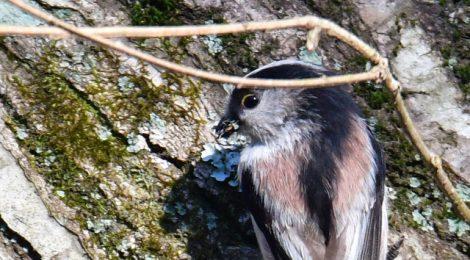 巣材を集めるエナガ、小鳥たち