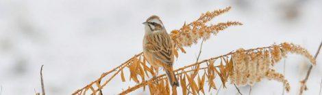 雪の日の田んぼの鳥たち