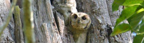上がメスで下がオス。インドオオコノハズク Indian Scops-Owl