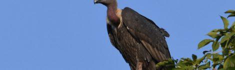 意外と素朴でかわいい顔立ちのベンガルハゲワシ White-rumped Vulture