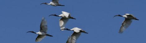 頭上を大群が飛ぶ クロトキ Black-headed Ibis