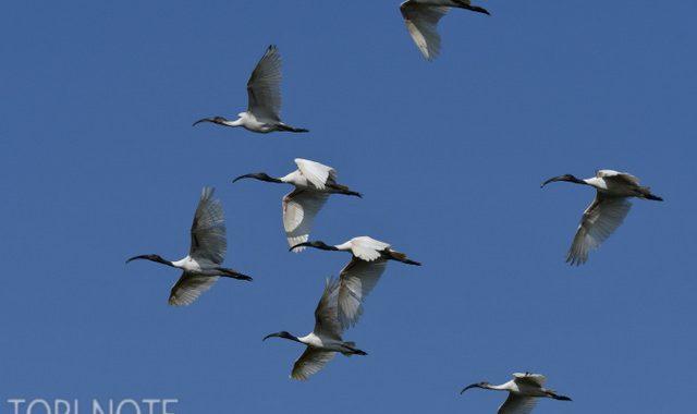 ネパールの野鳥 Birds in Nepal (6)