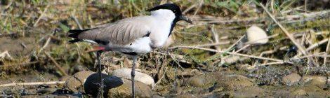 ネパールの野鳥 Birds in Nepal (8)