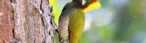 嘴からあごにかけて赤い線があるのはオスの証拠。ヒメアオゲラ(オス) Lesser Yellownape