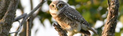 白いマフラーやまゆげがとてもチャーミングなインドコキンメフクロウ Spotted Owlet