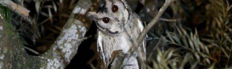 コールバックに応えて出てきてくれたヒガシオオコノハズク Collared Scops-Owl