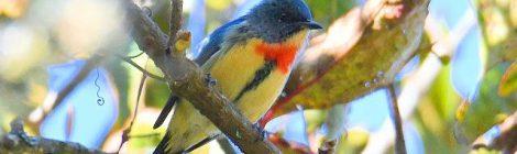 赤い蝶ネクタイがチャーミング!ハナドリ Fire-breasted Flowerpecker