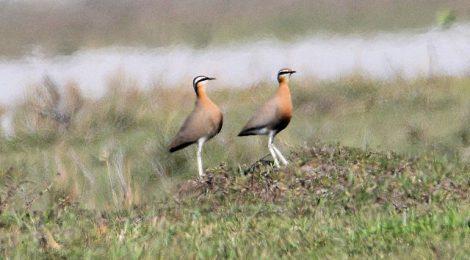 ネパールの野鳥 Birds in Nepal (4)