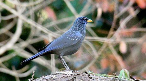 ネパールの野鳥 Birds in Nepal (1)