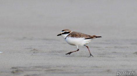 海辺の鳥たち~ウミアイサ、シロチドリなど