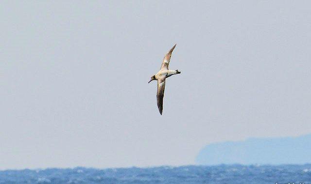 八丈島航路(2)~どんどん出てくるアホウドリ、コアホウドリ
