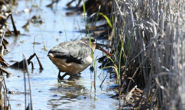 シギ・チドリを探して涸沼一周