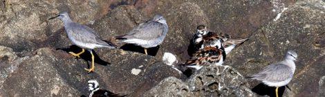 キアシシギ、チュウシャクシギ、初認のコアジサシ
