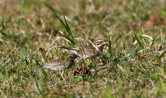 飛島探鳥(3)~グラウンドのキマユホオジロ、コホオアカ編