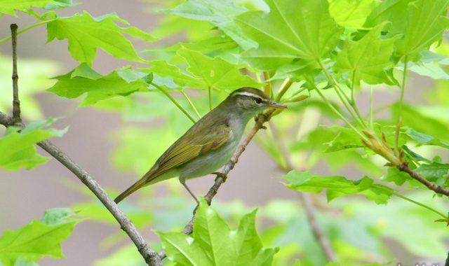飛島探鳥(4)~キマユムシクイほか四谷ダムのムシクイ祭り編