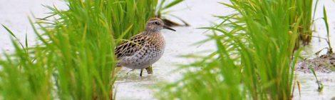 涸沼で春は初めて見たウズラシギ