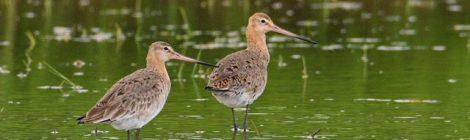 涸沼でオグロシギ観察