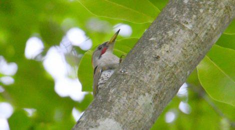 青葉の中の鳥たち~アオゲラ、キビタキ、コゲラ