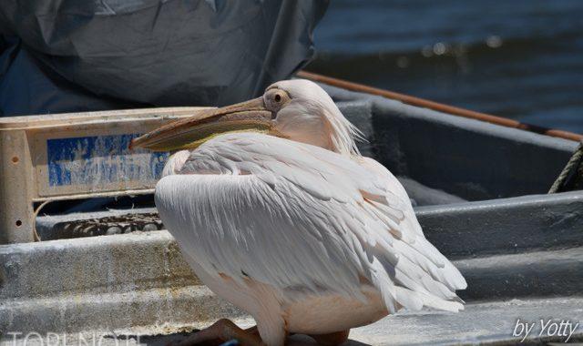 印旛沼を訪ねて(1)~モモイロペリカン、ヨシゴイ